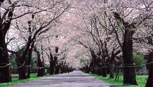 大阪の桜の開花基準