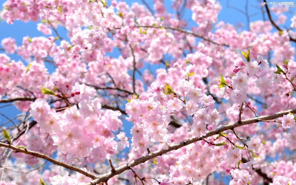 大阪の桜の開花予想日