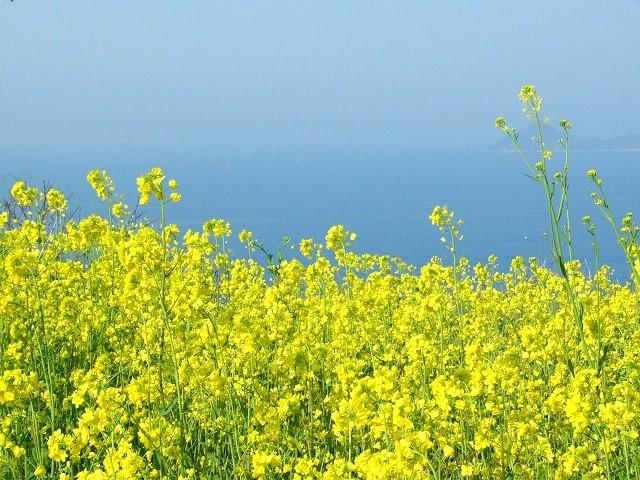 菜の花パスタの美容効果や健康効果