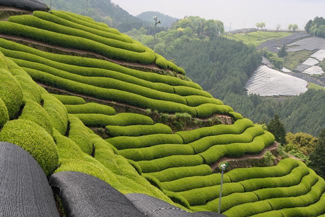 京都観光の穴場スポットは宇治の茶畑