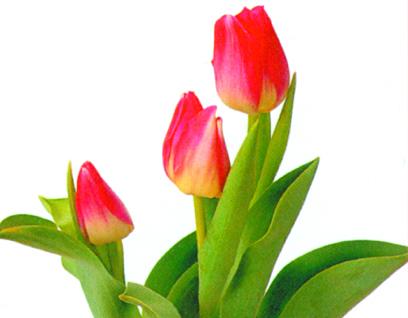 チューリップの花言葉や原産国などの豆知識
