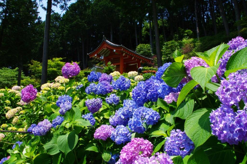 三室戸寺の紫陽花の見頃