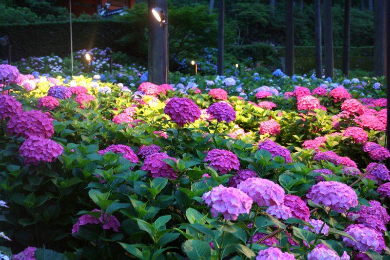 三室戸寺の紫陽花のライトアップ