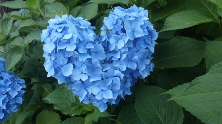 三室戸寺の紫陽花ハートもある?